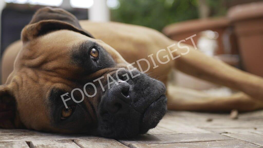 Cute boxer dog
